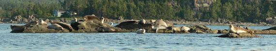Les phoques se chauffent la couenne au soleil !