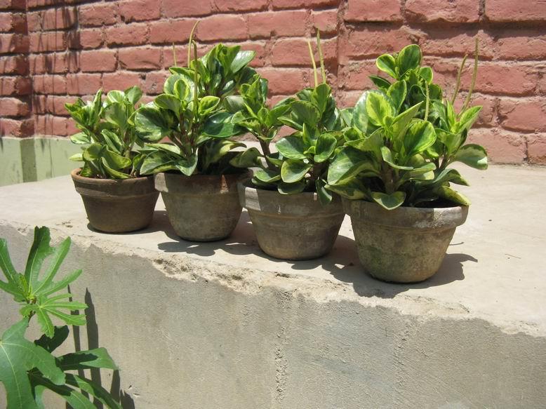 Mis plantas ornamentales en trujillo per mi peque o vivero for Vivero mi planta