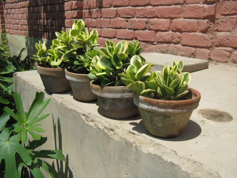 Mis plantas ornamentales en trujillo per mi peque o vivero for 2 plantas ornamentales