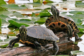 Free the Turtle Painted_turtle_298np