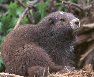 La marmota fuera de la madriguera