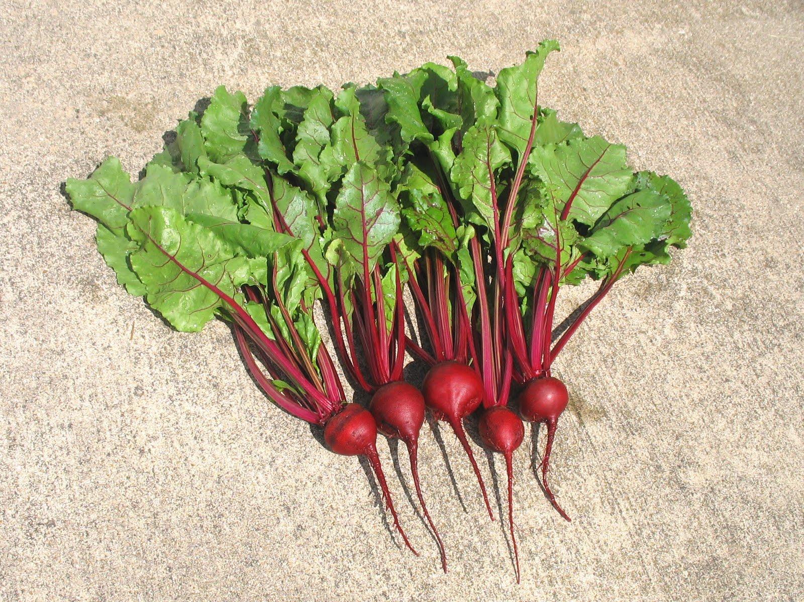 Larrys Weed Free Vegetable Garden First Beet Harvest