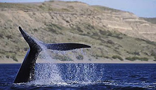 whale  photo in a whale watching trip in Valdes Peninsula Patagonia Argentina