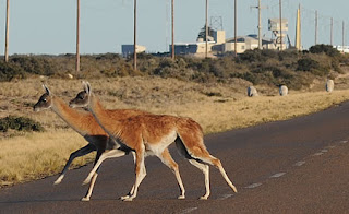 Road Safety - animals on the Valdes Peninsula Natural Reserve - Drive with care