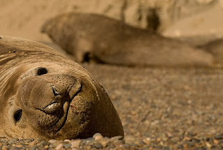 Arrival of the elephant seals to Valdés Peninsula continental colony
