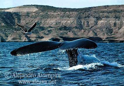 Whale tail and a kelp gull in Peninsula Valdes Whale Watching