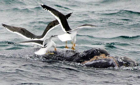 gulls feeding off whales in Peninsula Valdes