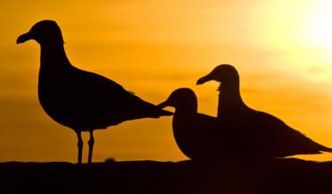 back light seagull in Peninsula Valdes