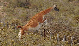 Guanaco in Valdes Peninsula and Patagonia