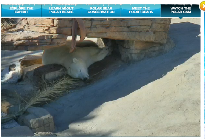 polar bear structural adaptations