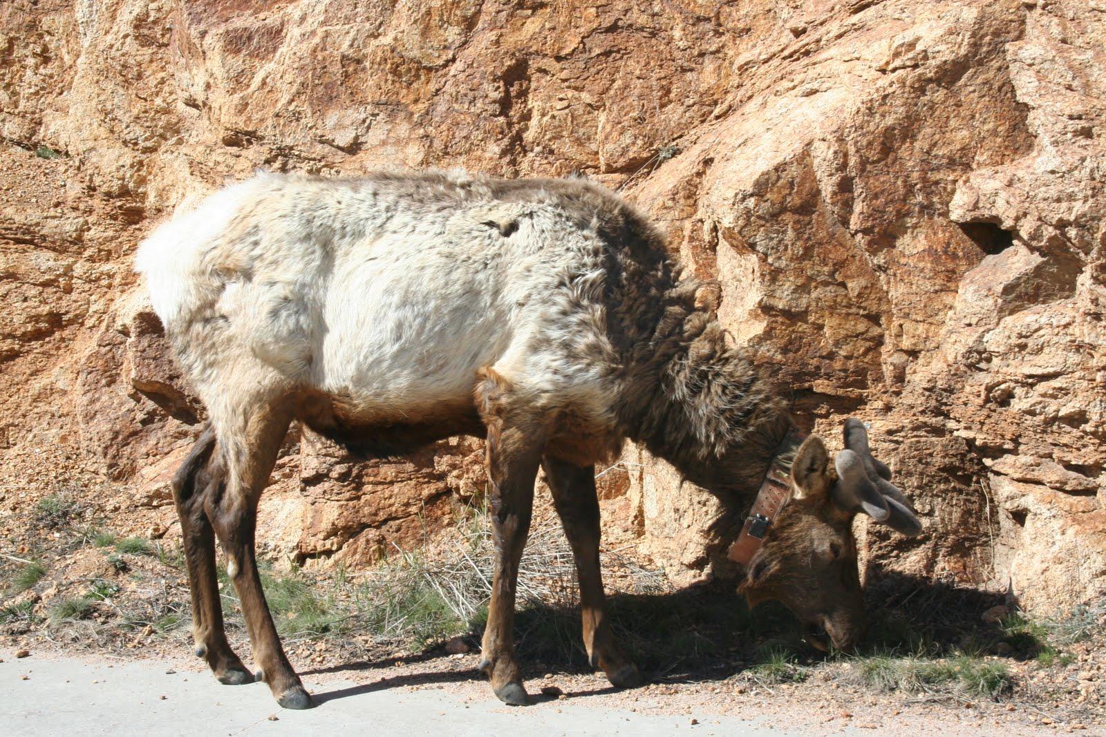 State thinks it has cause of elk hoof disease | The Columbian