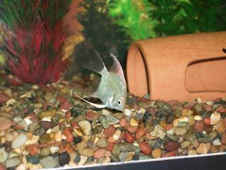 New angel fish