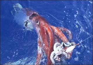 giant squid, colossal squid