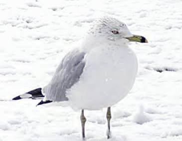 seagull leg, bird leg, bird withe, bird ice