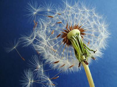 amazing weed, golf weed, dandelion golf, dandelion health, dandylion,   dandilion, dandelion images, dandelion pictures, dandellion, what is dandelion, dandelion benefits, dandelion recipe, pictures of dandelions, dandelion wikipedia, dandelion wiki, dandelion tattoo