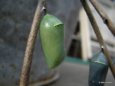 Chrysalis Close-up