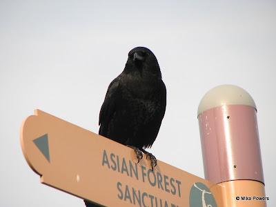 Crow species
