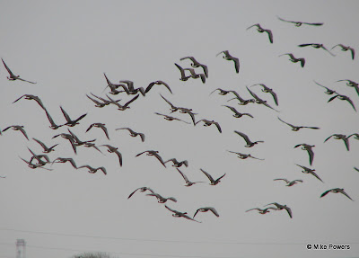 Waterfowl flight in eastern Arkansas