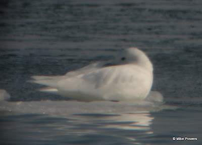 Ivory Gull resting on ice