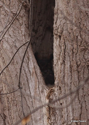 Great Horned Owl in Cottonwood cavity