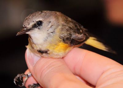 American Redstart, young male
