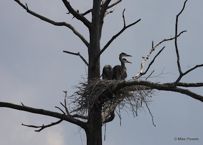 Juvenile Great Blue Herons in nest
