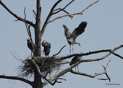 Juvenile Great Blue Herons in branches of nest tree