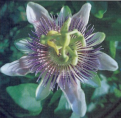 Pasiflora Incantata