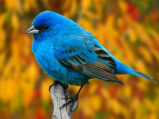 tiny blue bird