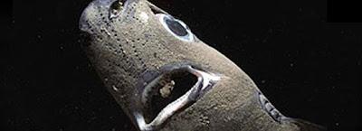Spined Pygmy Sharks