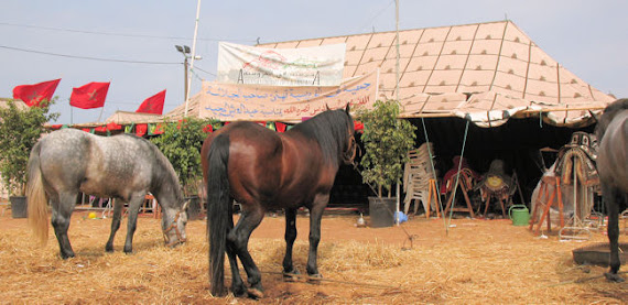 chevaux du Maroc