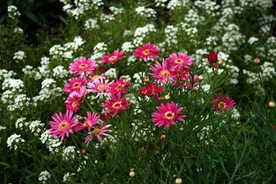 Commonmyrtle Flowers on Flowers Desktop Wallpaper  Marguerite Daisy