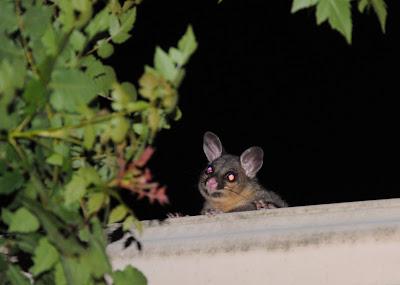 Possum on the roof