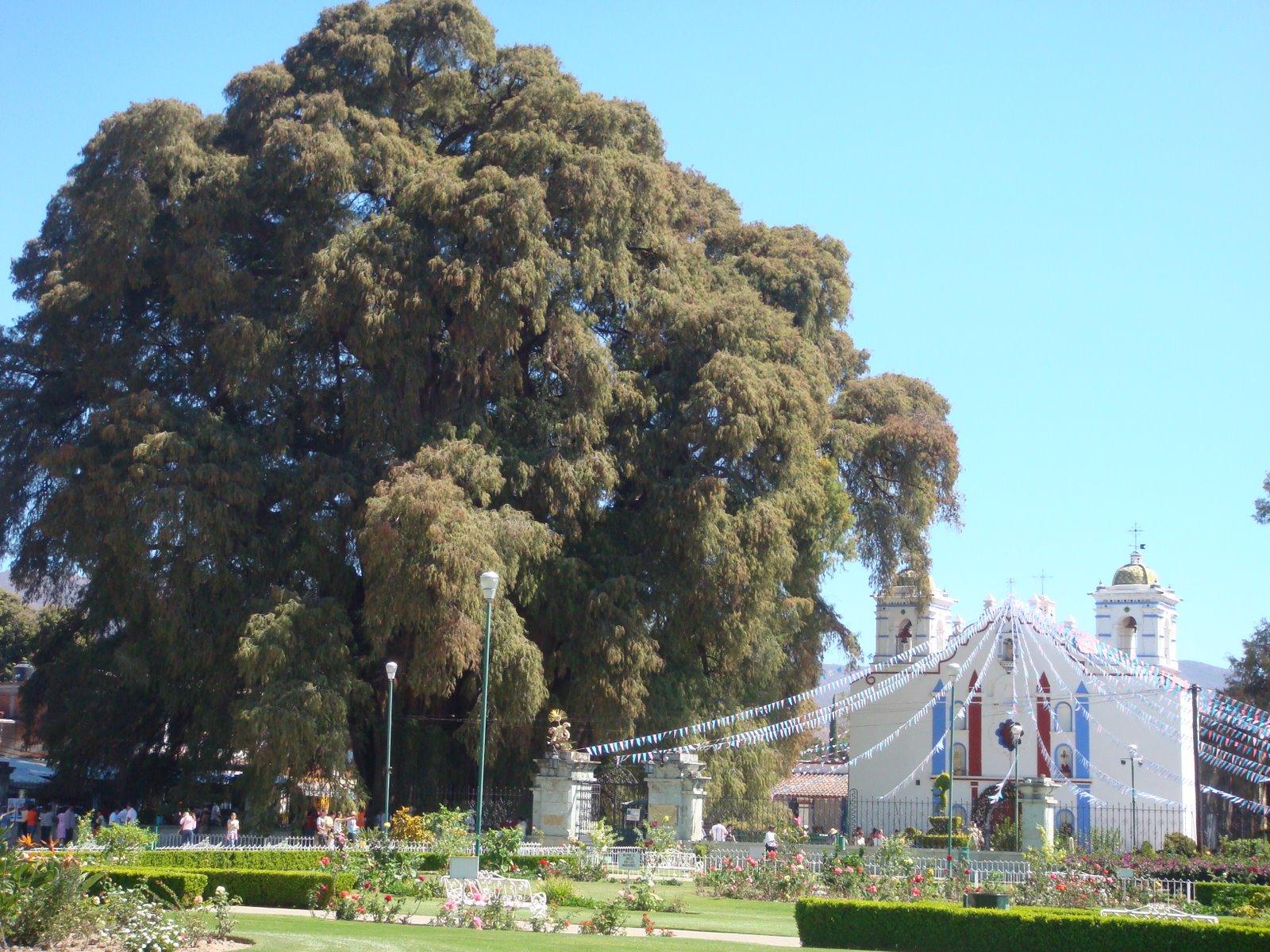 Los arboles mas grandes del mundo taringa for Arbol mas grande del mundo