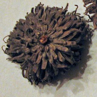 bur oak acorn nest
