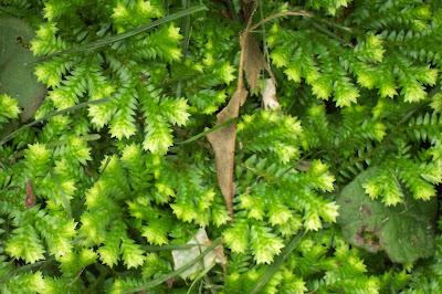 In the Garden: Spike Moss and Fern Allies