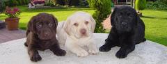 Adoro Labrador!!!!!!