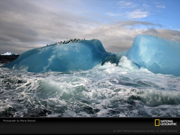 Chinstrap penguins (Pygoscelis antarctica)