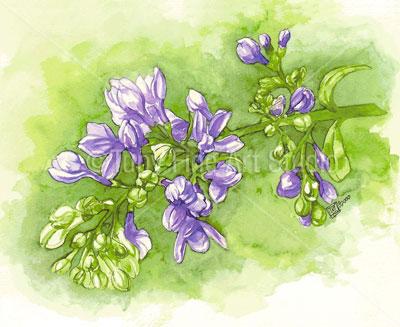 [Hình: lilac.jpg]
