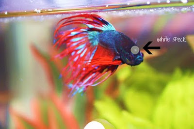 Anyone have any pictures of ich velvet pretty sure my lfs for Betta fish ich
