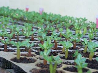Picture+015 Adenium Plant