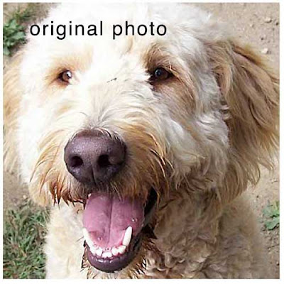goldendoodle dogs. This sweet Golden Doodle is