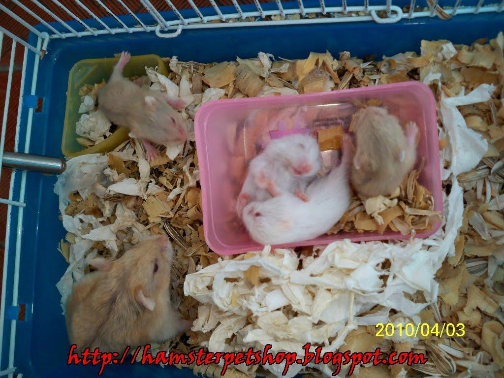 Pengalaman pertama memelihara hamster