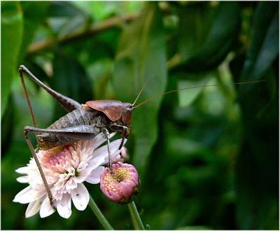græshoppe wiki