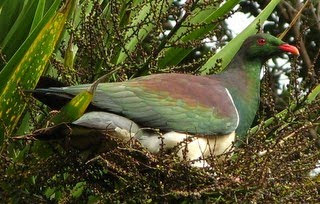 a story about NZ kereru at the Earthwise Valley house