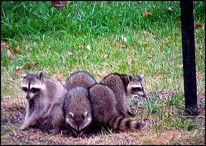 Garden talks and pictures do you have a problem with for Do raccoons eat fish
