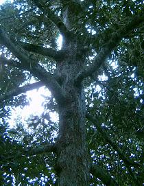 Pohon Induk Durian Salisun