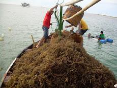Rumput Laut Basah