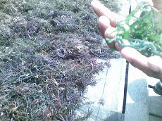 Rumput Laut di Sebatik
