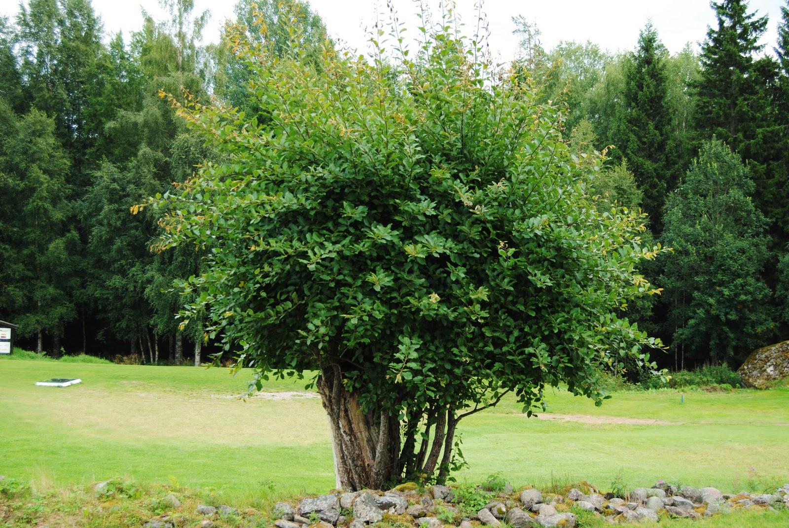 Hamlade träd
